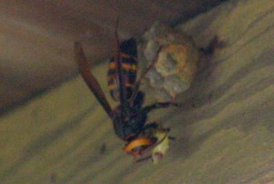 食餌中のコガタスズメバチ