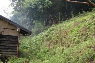 古民家裏の真竹のタケノコ