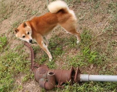 柴犬と古井戸ポンプ