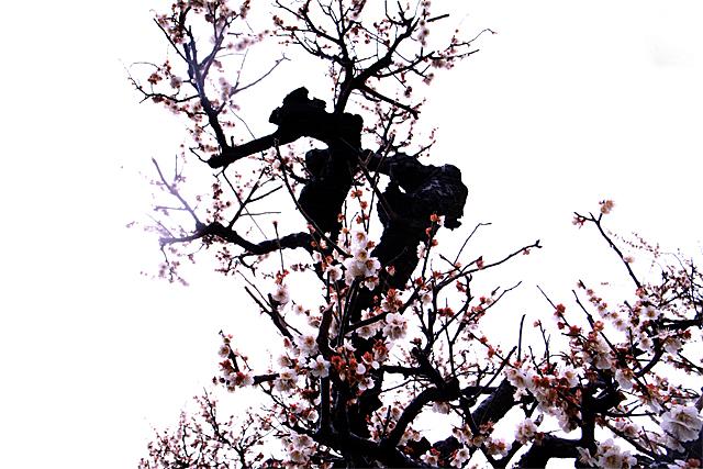 100307_001_梅の花