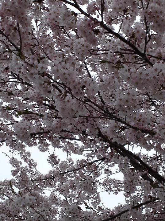 桜満開 (2)
