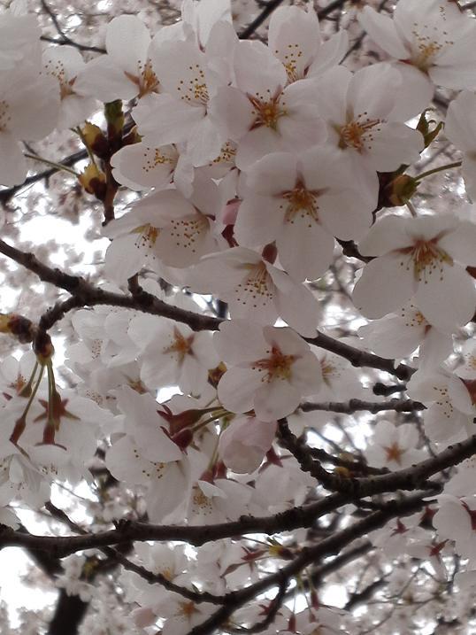 桜満開 (3)