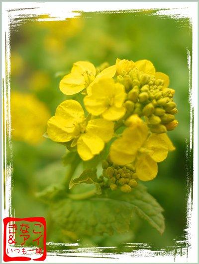 XS菜の花