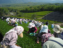 250px-Tea_picking_01.jpg