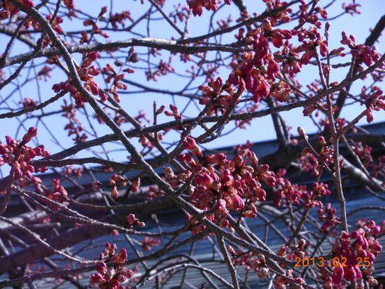 梅は咲いたか?桜は?
