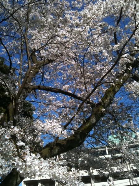 当館 真裏の東山公園の桜♪