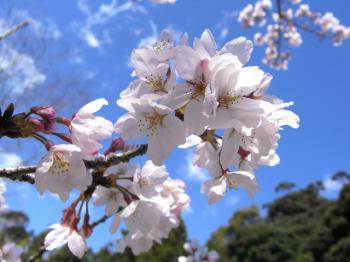 2011年 桜の開花予報