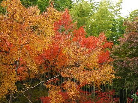 11天龍寺13竹と紅葉