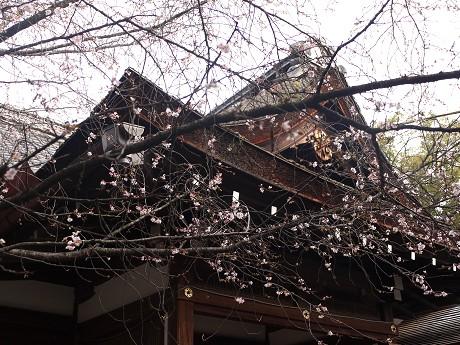 03平野神社02桜