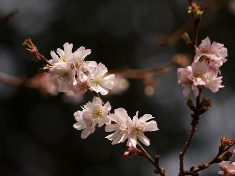 03平野神社03桜