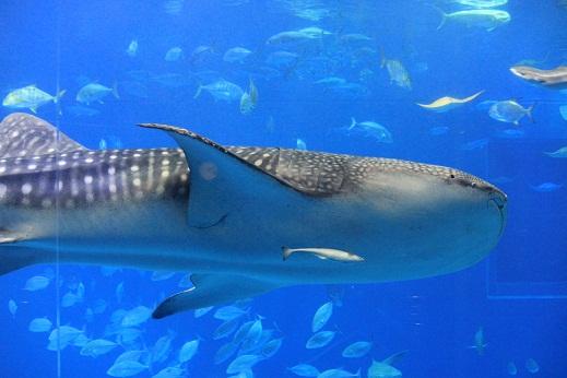 ジンべえ鮫