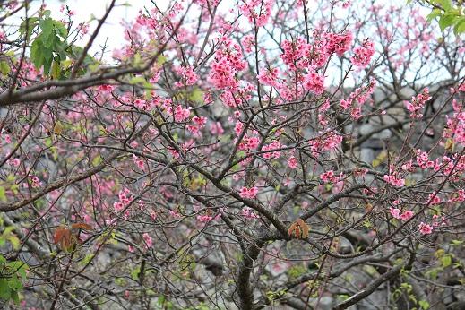 今帰仁城址の桜