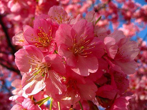 河津川沿いの河津桜の花びら