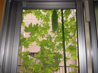 窓からのニガウリ