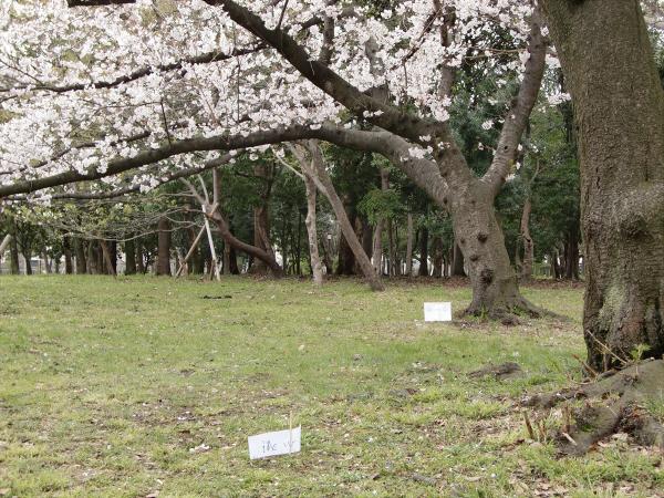 桃と桜と大阪城6