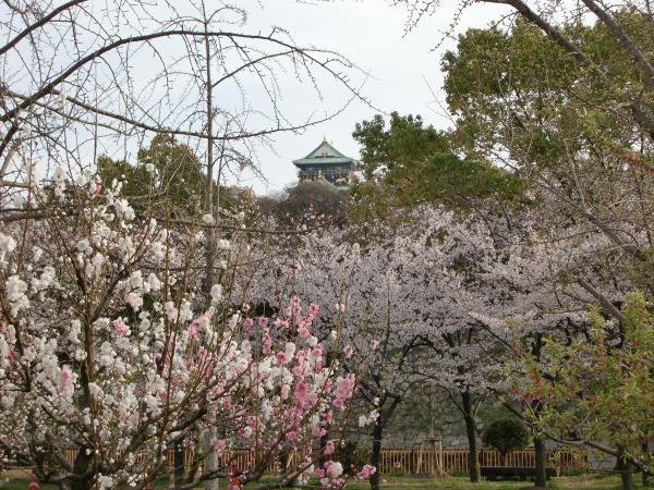 桃と桜と大阪城1