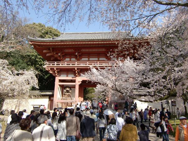 京都醍醐寺の桜の写真1-3