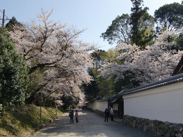 京都醍醐寺の桜の写真1-4