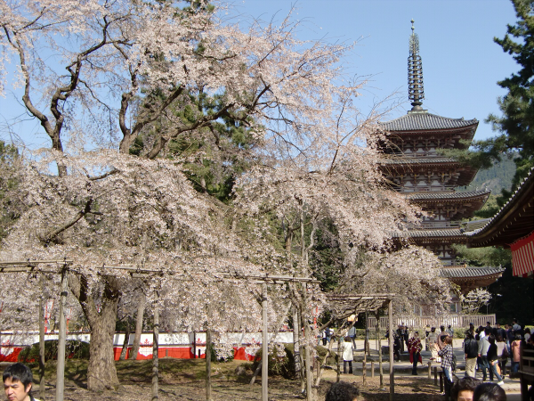 京都醍醐寺の桜の写真1-5