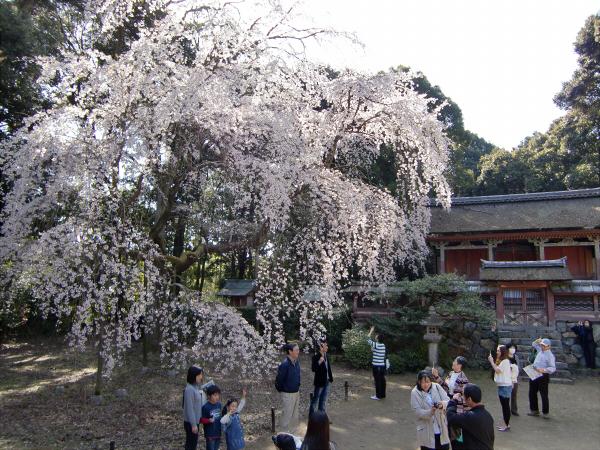 京都醍醐寺の桜の写真1-6