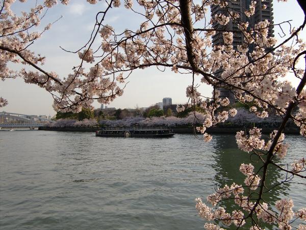 毛馬河川公園の桜1-3