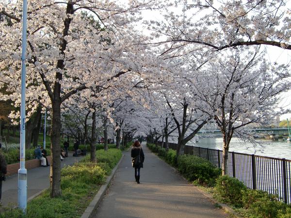 毛馬河川公園の桜2-3
