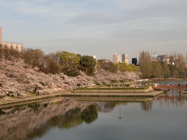 毛馬河川公園の桜2-5