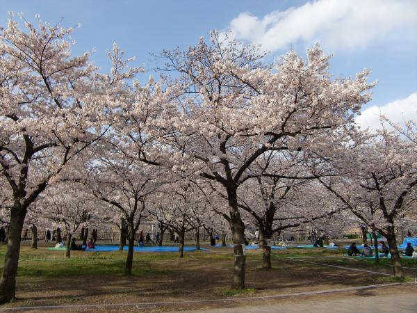 桃と桜と大阪城5
