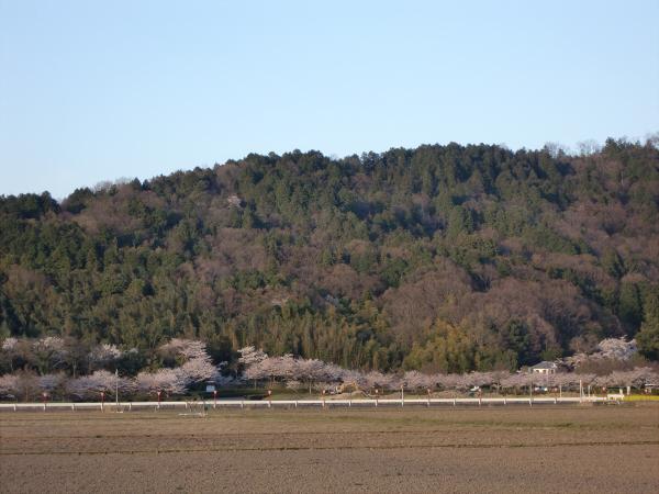 安土城跡の桜を目指して2-5