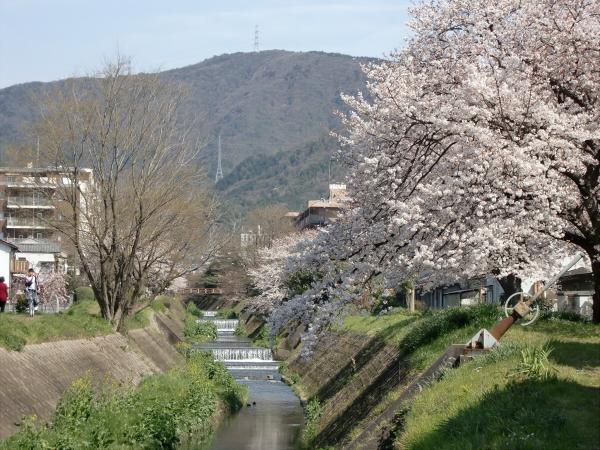 京都醍醐寺の桜の写真1-2