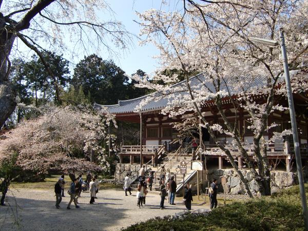 京都醍醐寺の桜の写真2-1