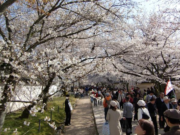 京都醍醐寺の桜の写真2-4