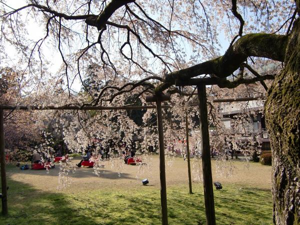 京都醍醐寺の桜の写真2-5