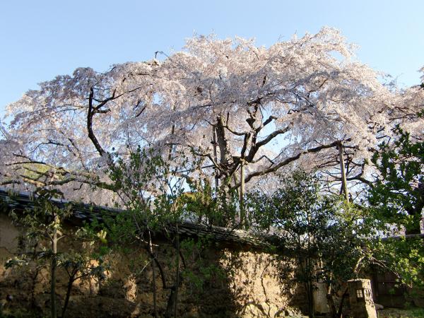 京都醍醐寺の桜の写真2-6