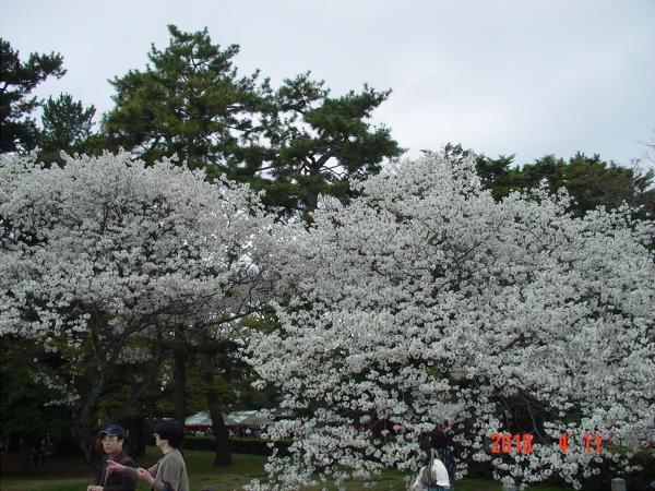 京都御所の枝垂桜1