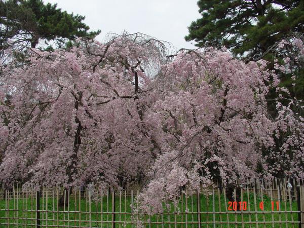 京都御所の枝垂桜2