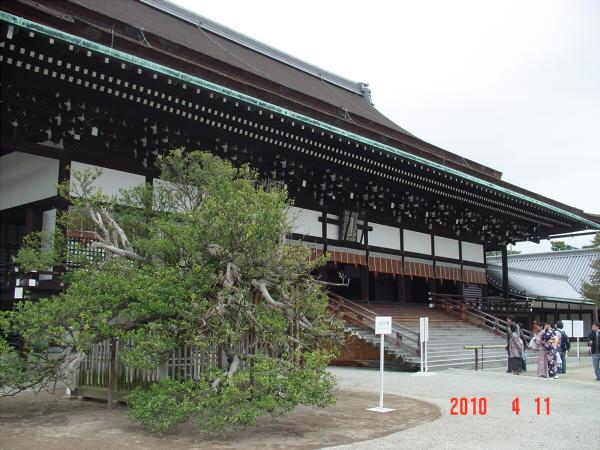 京都御所の枝垂桜3
