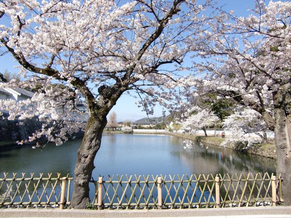 桜・ひこにゃん・彦根城1-3