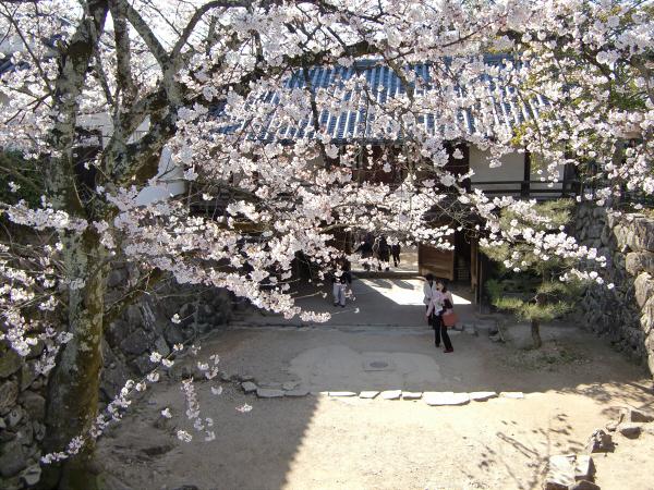 桜・ひこにゃん・彦根城2-4