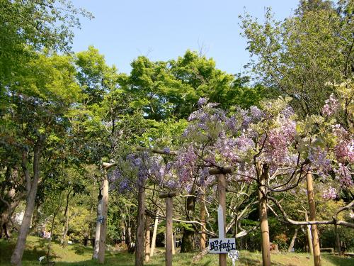 春日大社-神苑-の藤などの写真01