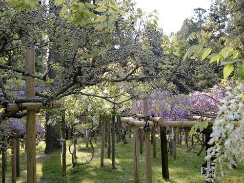 春日大社-神苑-の藤などの写真02