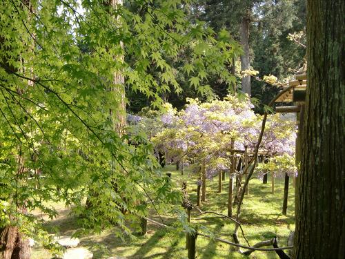 春日大社-神苑-の藤などの写真03