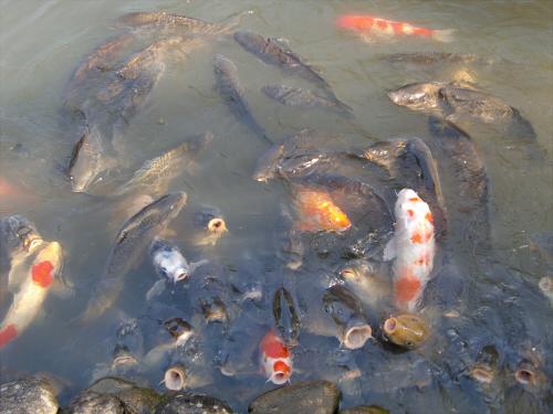 春日大社-神苑-の藤などの写真09