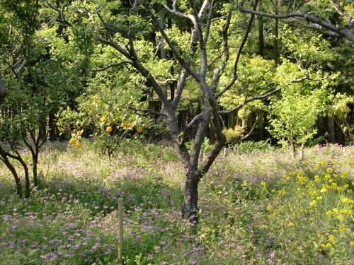 春日大社-神苑-の藤などの写真10