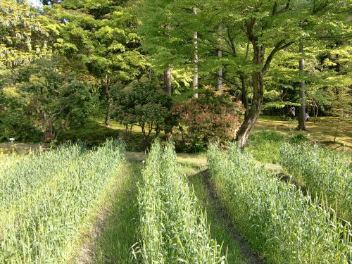 春日大社-神苑-の藤などの写真13