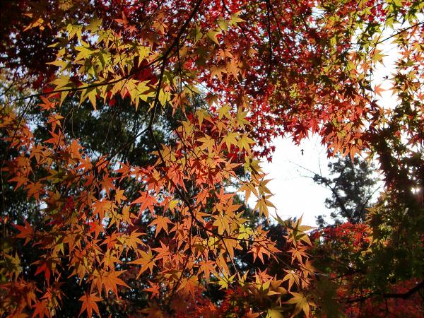 京都光明寺の紅葉05