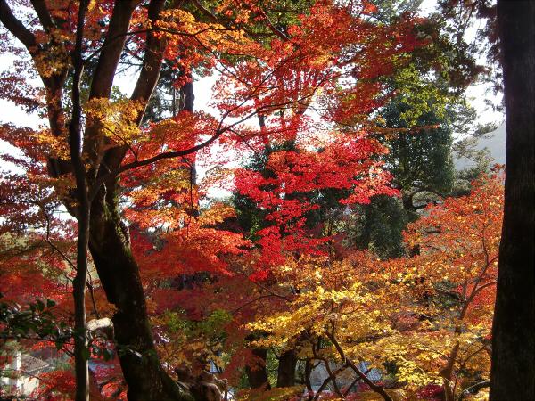 京都光明寺の紅葉08
