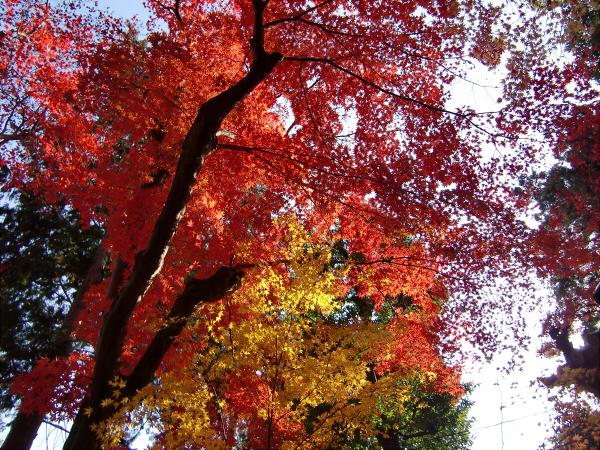 京都光明寺の紅葉11