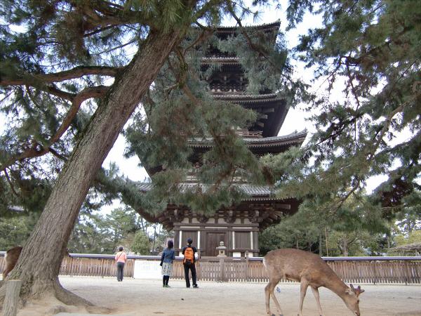 奈良公園で桜と鹿見物1-1