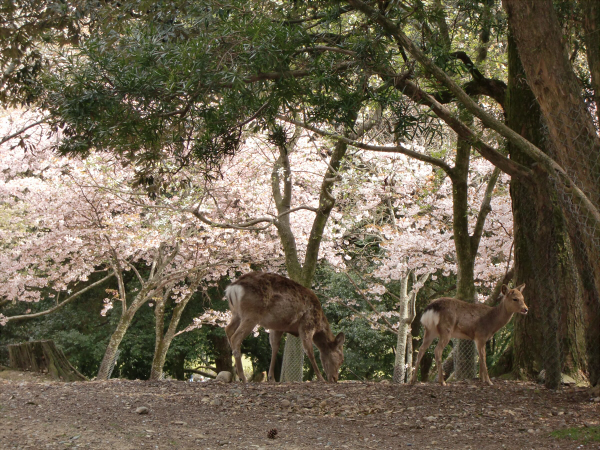 奈良公園で桜と鹿見物1-2